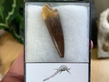 Plesiosaur Tooth (1.75 inch) #10