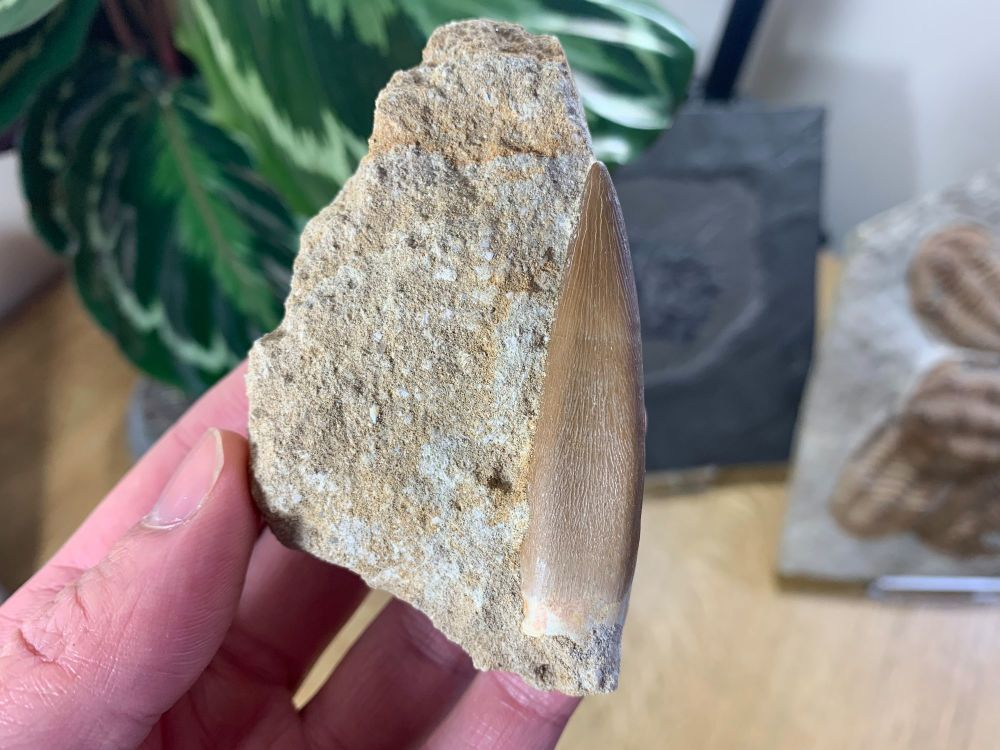 Plesiosaur Tooth on Natural Matrix (2.13 inch) #03