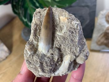 Plesiosaur Tooth on Natural Matrix (1.75 inch) #04