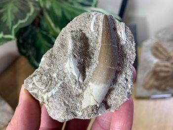 Plesiosaur Tooth on Natural Matrix (2.13 inch) #06