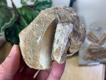 Plesiosaur Tooth on Natural Matrix (1.94 inch) #07