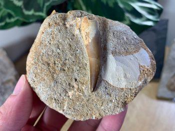 Plesiosaur Tooth on Natural Matrix (1.63 inch) #09