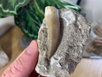 Plesiosaur Tooth on Natural Matrix (2 inch) #10
