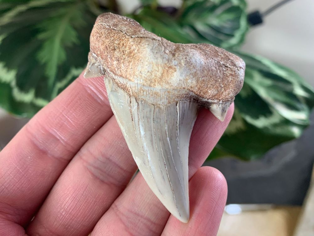 QUALITY Otodus obliquus Shark Tooth (2.63 inch) #10