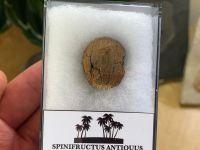 Spinifructus antiquus, Palm Fruit (Hell Creek) #04