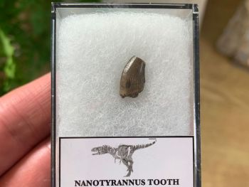 Nanotyrannus Tooth (Lance Creek) #39