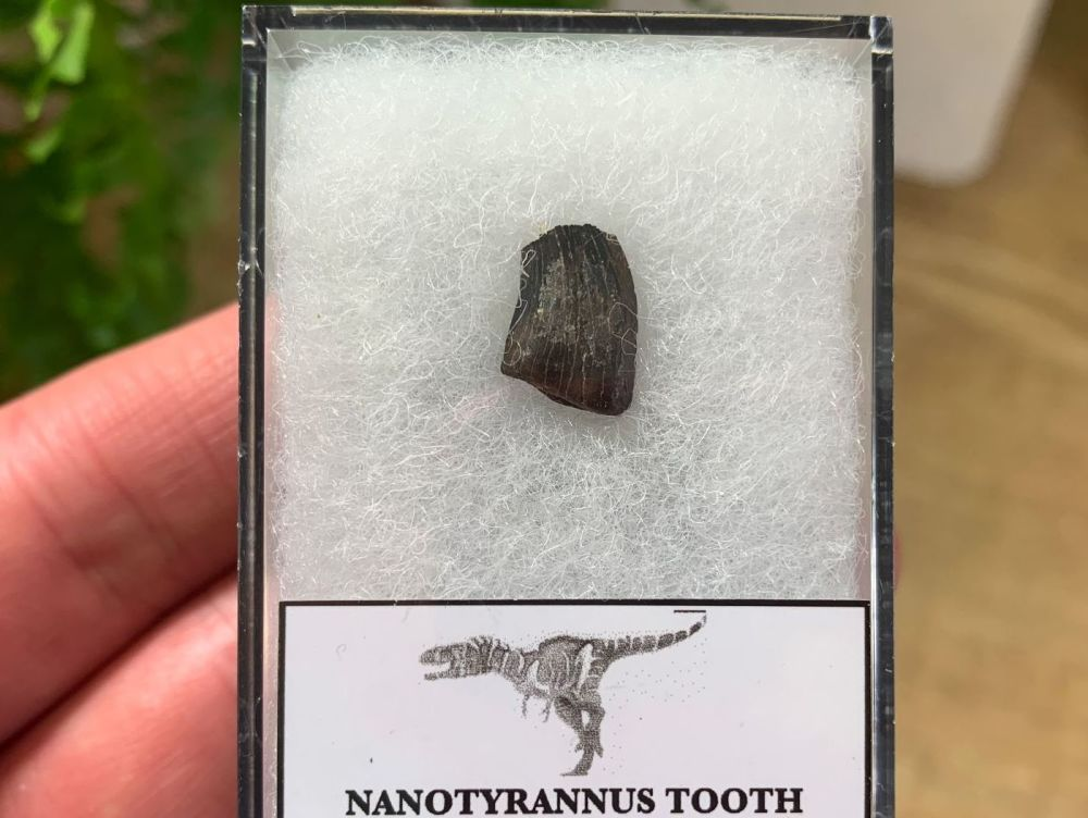 Nanotyrannus Tooth (Lance Creek) #12