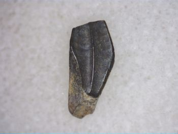 Baby/Hatchling Edmontosaurus Tooth (Hell Creek)