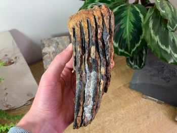 Woolly Mammoth Tooth #02