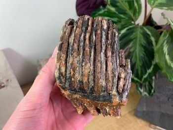 Woolly Mammoth Tooth #14