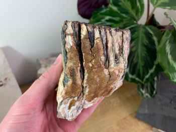 Woolly Mammoth Tooth #15