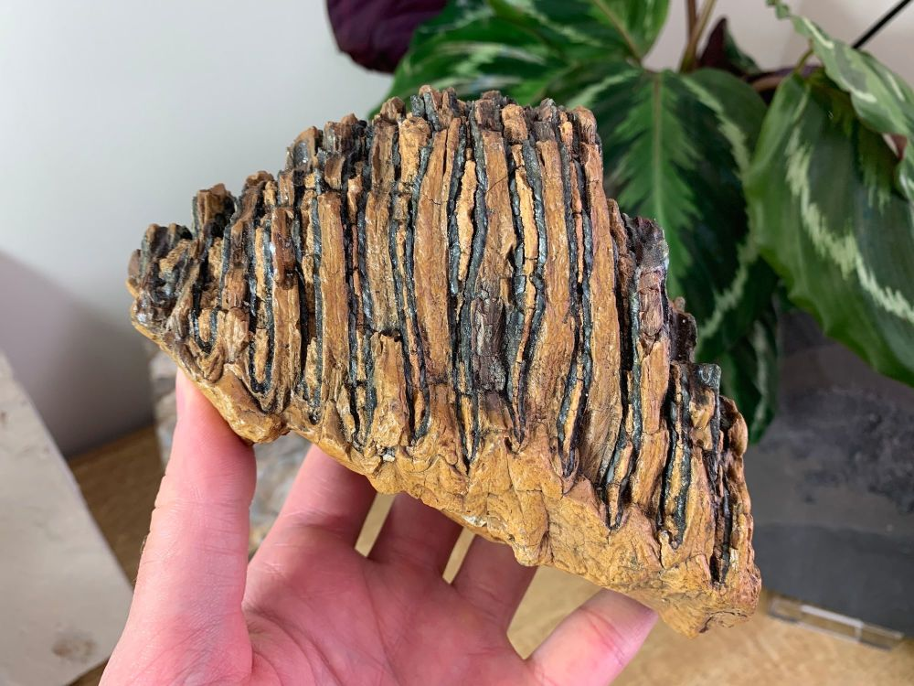 Woolly Mammoth Tooth #16