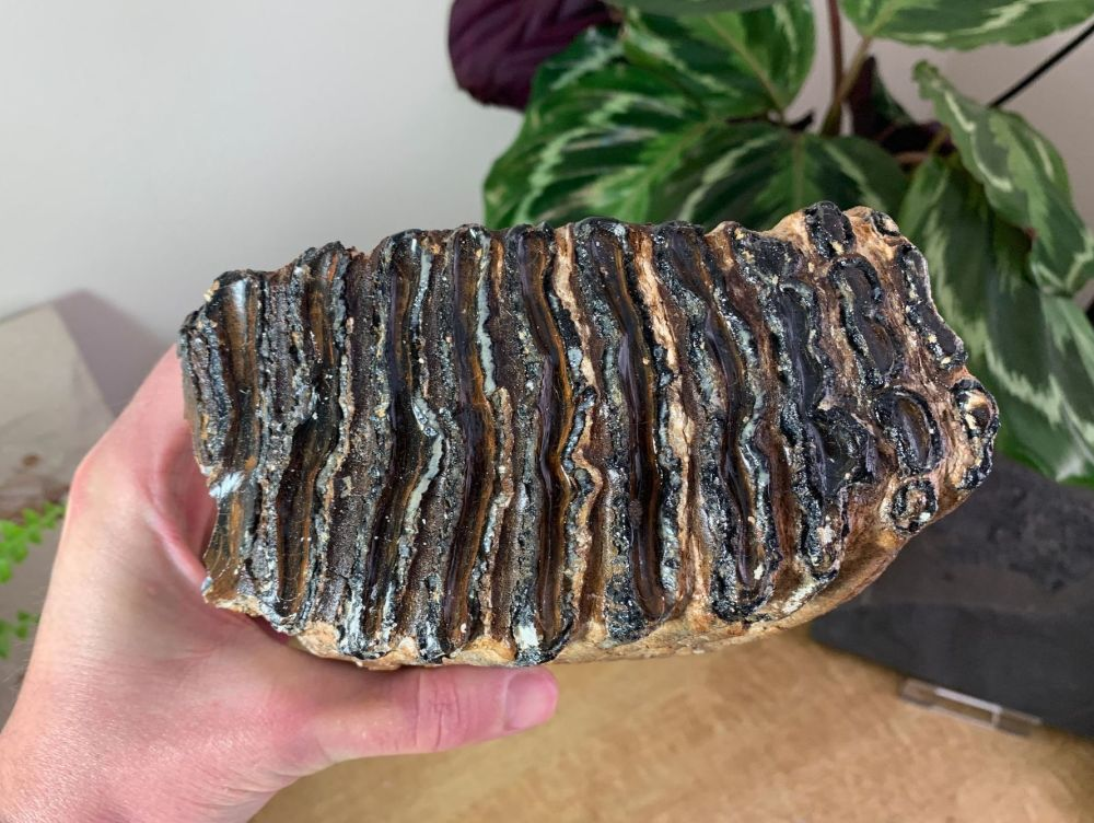 Woolly Mammoth Tooth #17