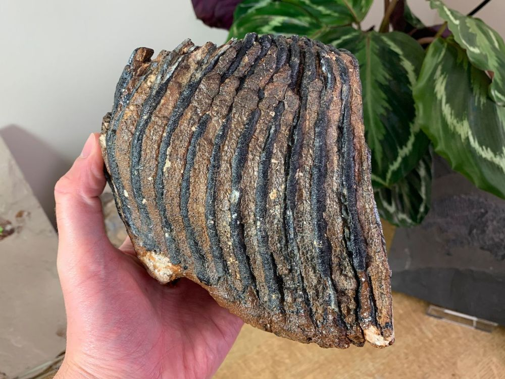 Woolly Mammoth Tooth #18