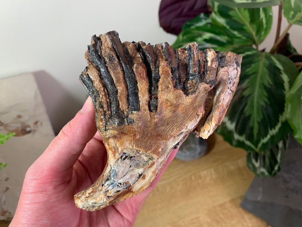 Woolly Mammoth Tooth #21
