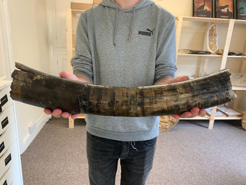 Large Woolly Mammoth Tusk