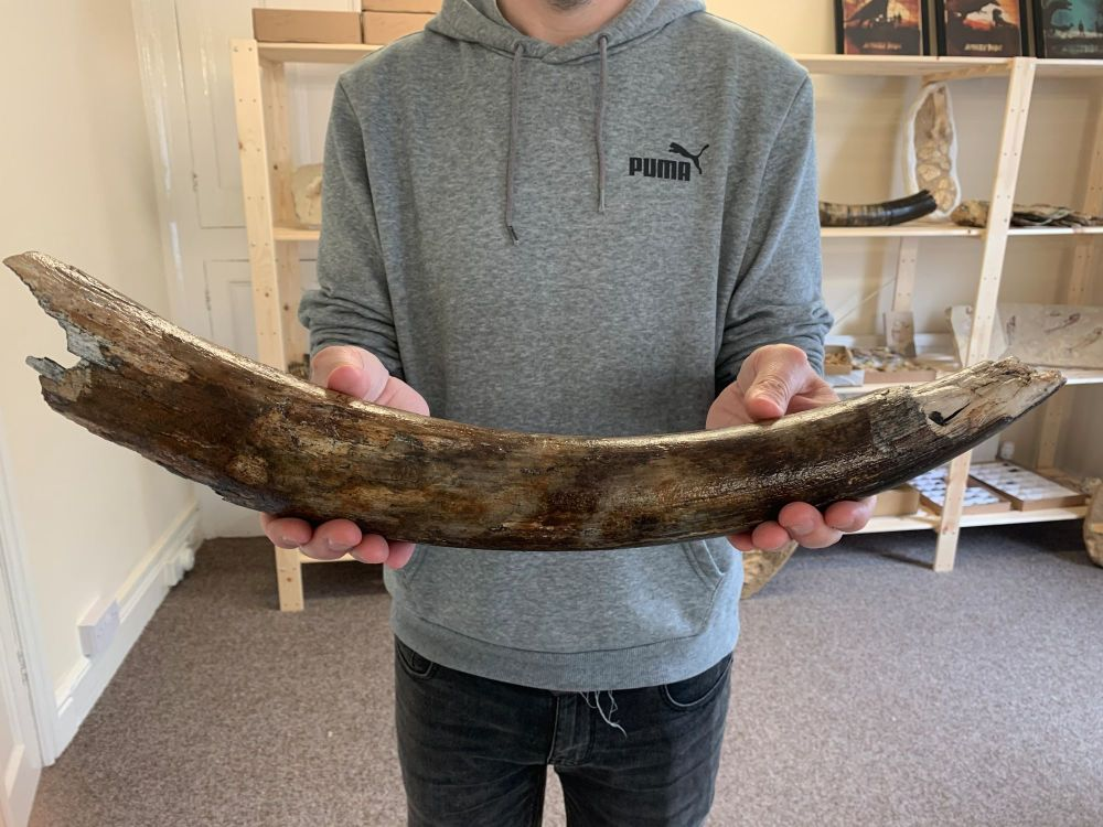 Large Woolly Mammoth Tusk (1.6ft)