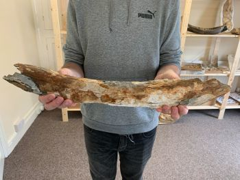 Large Woolly Mammoth Tusk (23 inches) #01