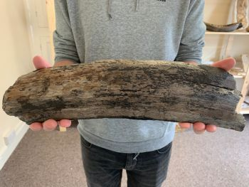 Large Woolly Mammoth Tusk (16 inches) #04