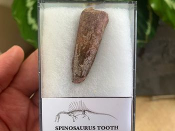 Spinosaurus Tooth - 1.63 inch #SP06