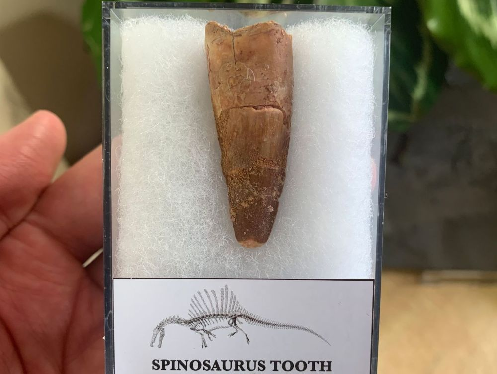 Spinosaurus Tooth - 1.63 inch #SP09