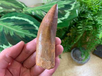 XL Carcharodontosaurus Tooth - 3.81 inch #L01