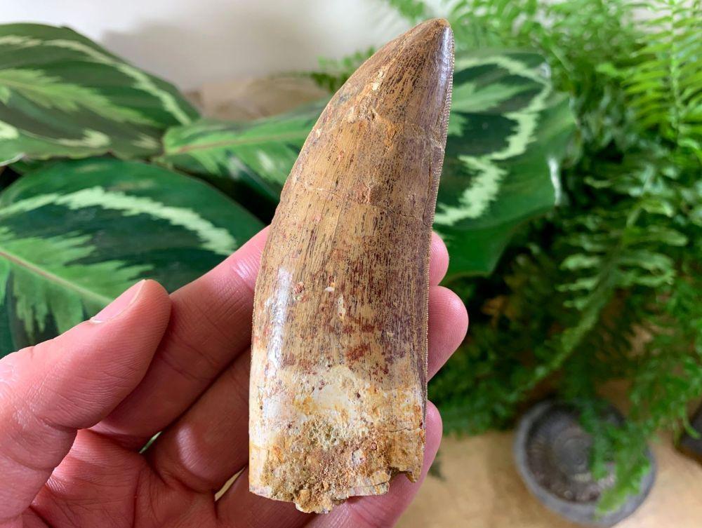 MUSEUM QUALITY Carcharodontosaurus Tooth - 4 inch #MC02