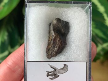Quality Triceratops Tooth #03