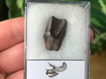 Quality Triceratops Tooth #07