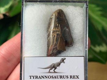 Tyrannosaurus rex Tooth Tip (1.13 inch)