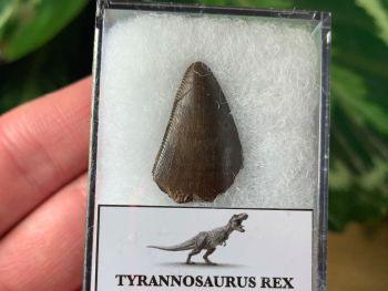 Tyrannosaurus rex Tooth Tip (0.88 inch)