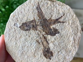 Fossil Fish, Green River Formation #18