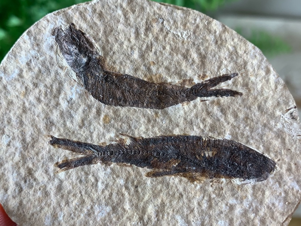 Fossil Fish, Green River Formation #19