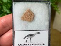 Gastornis (Giant Bird) Eggshell #06