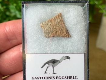 Gastornis (Giant Bird) Eggshell #07