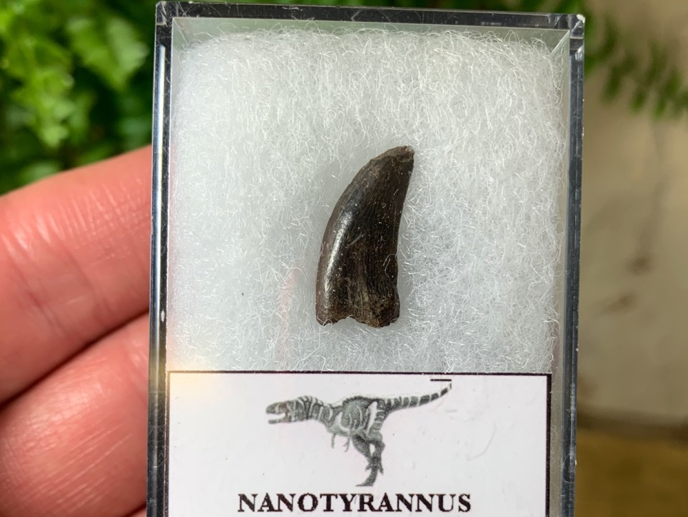 Nanotyrannus Tooth #01