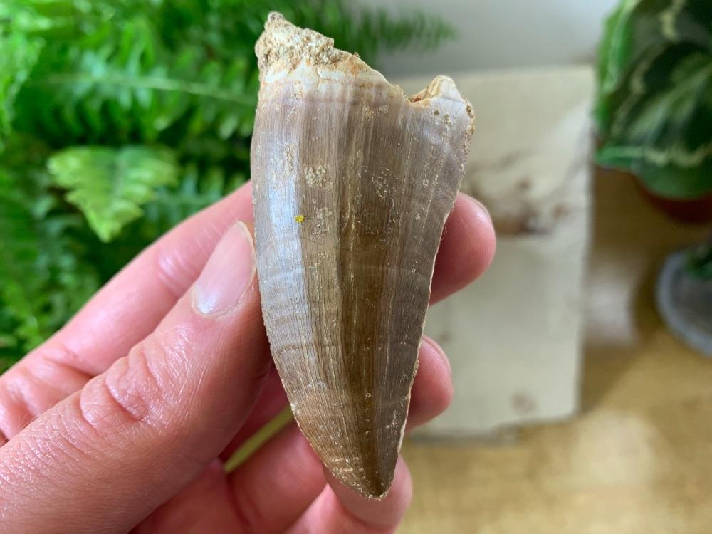 XL Mosasaur Tooth (2.63 inch) #01