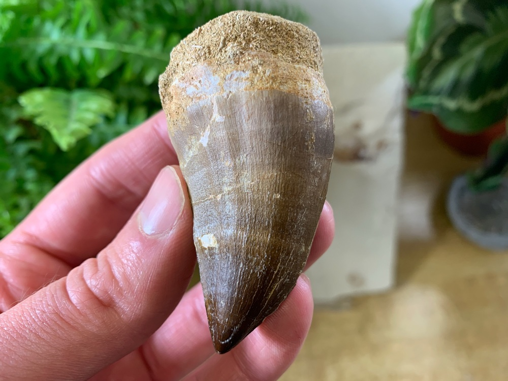 XL Mosasaur Tooth (2.25 inch) #02