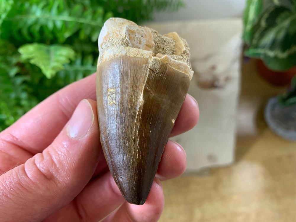 XL Mosasaur Tooth (2.19 inch) #03