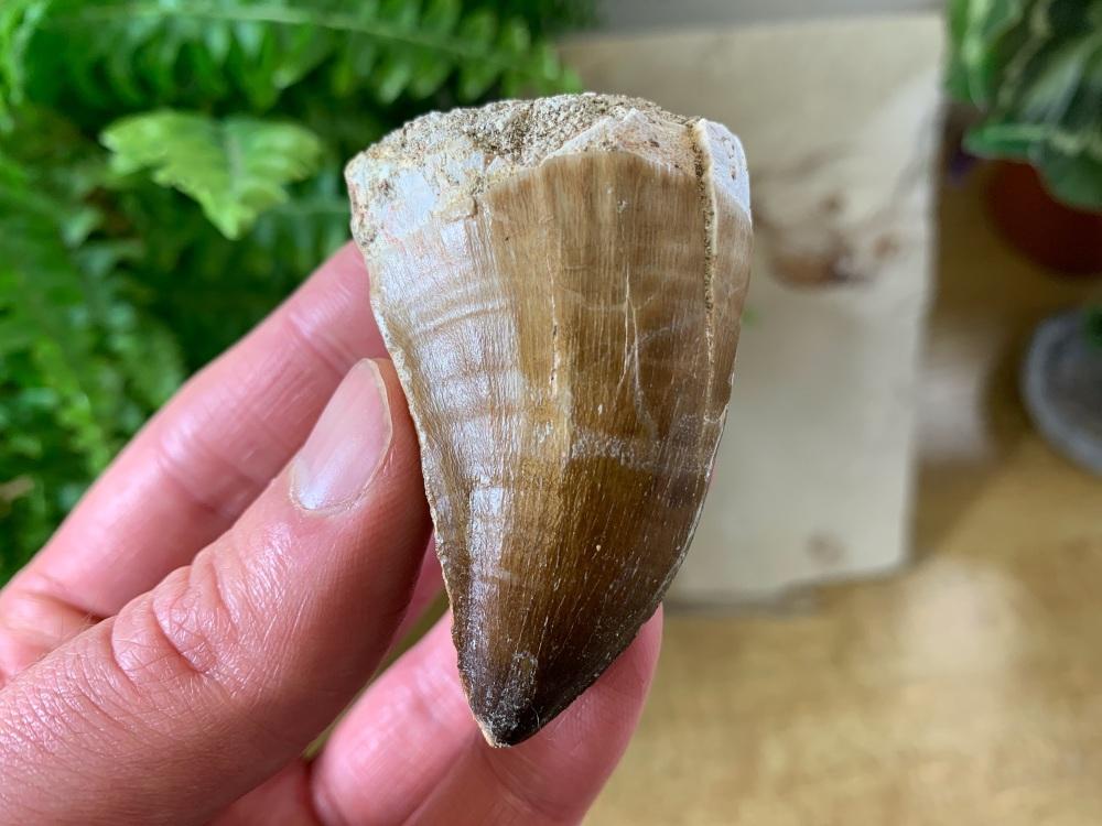 XL Mosasaur Tooth (2.13 inch) #07
