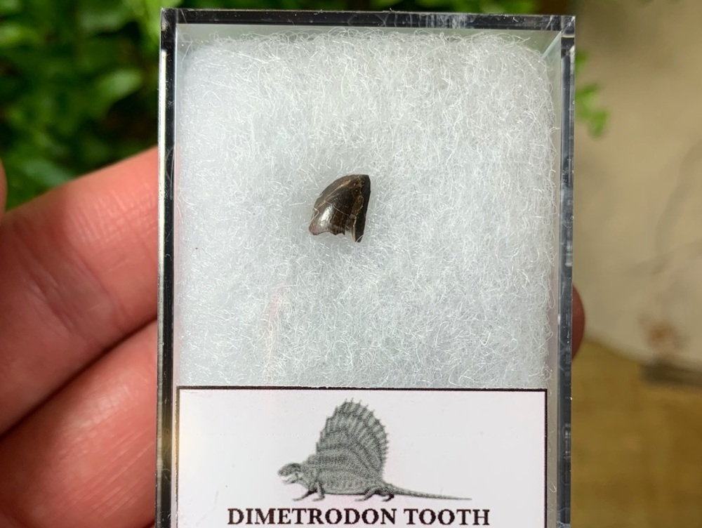 Dimetrodon Tooth (Oklahoma)