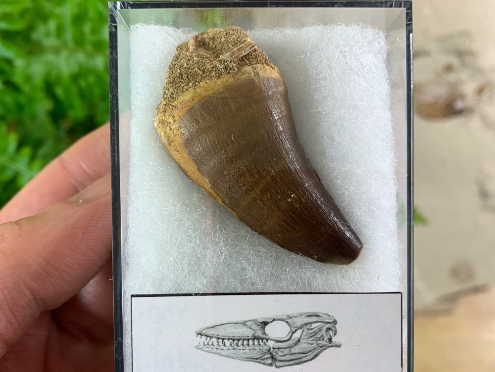 Large Mosasaur Tooth (1.63 inch) #04