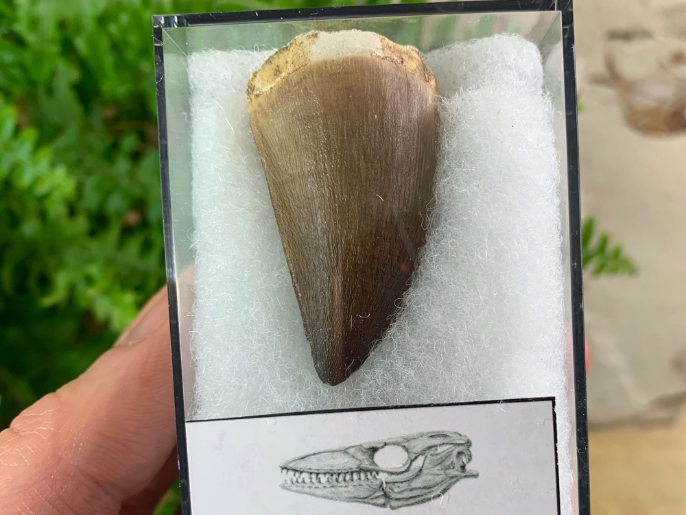 Large Mosasaur Tooth (1.75 inch) #09