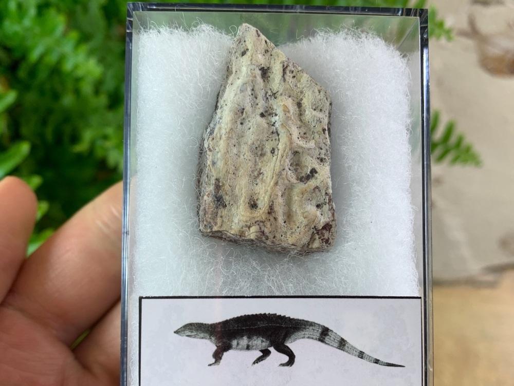 Aetosaur Osteoderm (Triassic Reptile) #01