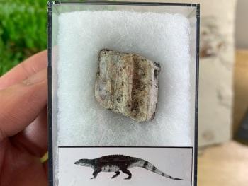 Aetosaur Osteoderm (Triassic Reptile) #05