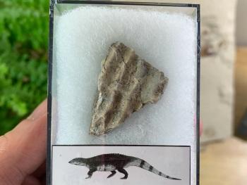 Aetosaur Osteoderm (Triassic Reptile) #06