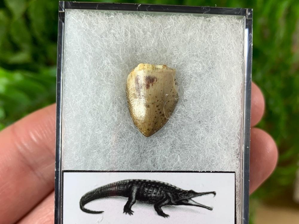 Phytosaur Tooth #11