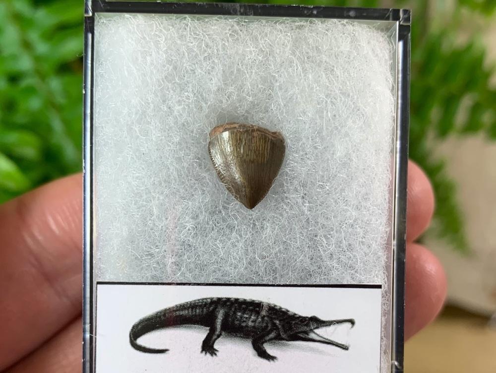 Phytosaur Tooth #12