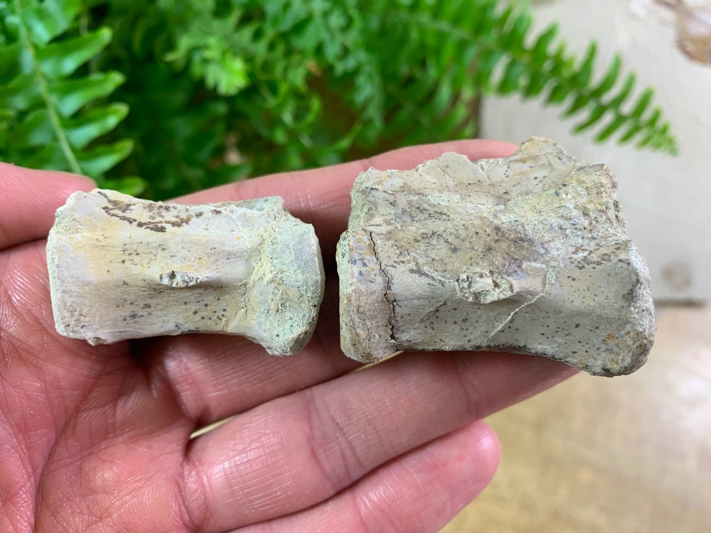 Phytosaur Associated Vertebrae (Triassic Reptile)