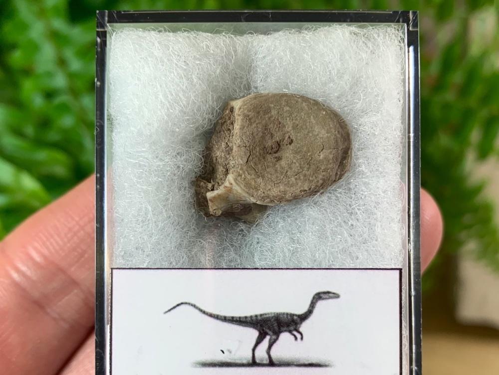 Coelophysis Early Dinosaur Vertebra #01